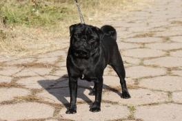 pug puppy in Europe
