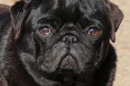 pug puppies in Europe